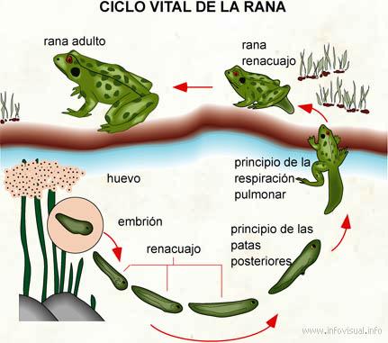 metamorfosis de los anfibios